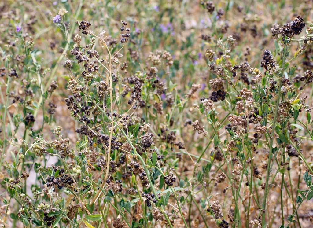 6-SGA9872-MED-RES-Alfalfa-prior-to-harvest-1024x746
